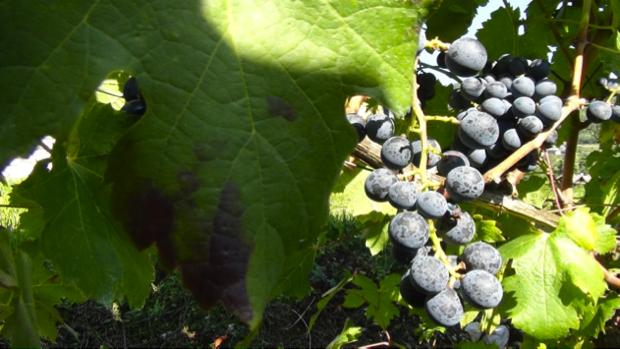 I vitigni ritrovati del Trentino 10