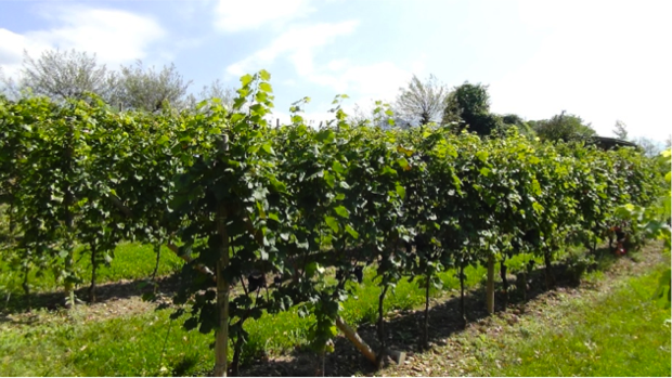 I vitigni ritrovati del Trentino 12