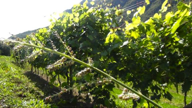 I vitigni ritrovati del Trentino 9