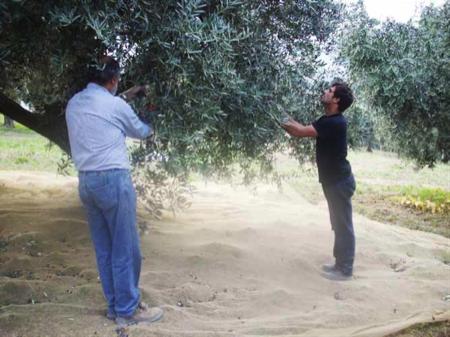 coltivazione dell ulivo nell area Vestina 6
