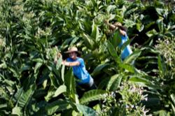 coltivazione tabacco kentucky per sigaro toscano 1