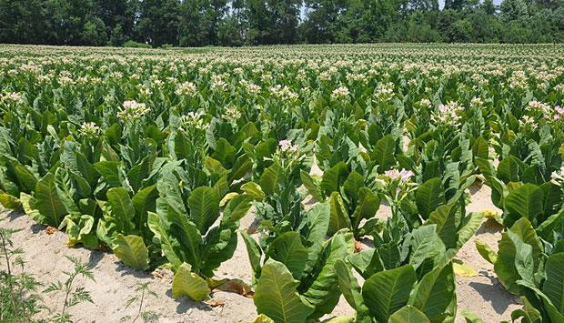 La coltivazione del tabacco kentucky per il sigaro toscano for Piccole piantagioni