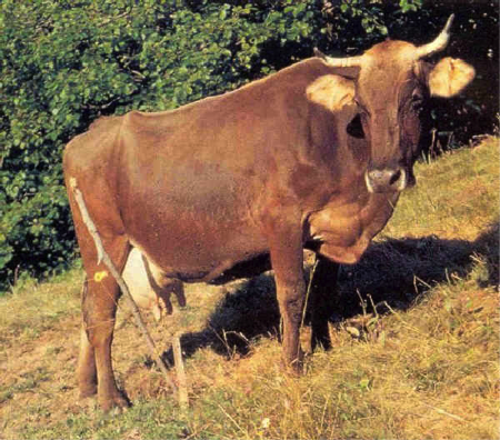 3spec Genova-8-Cabannina razza bovina ligure 1
