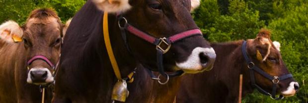 3spec Genova-8-Cabannina razza bovina ligure 2