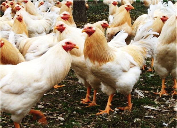 Cappone dei Gonzaga - carni avicole 2