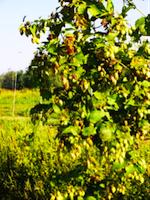 birra agricola Ticinensis La morosina 7