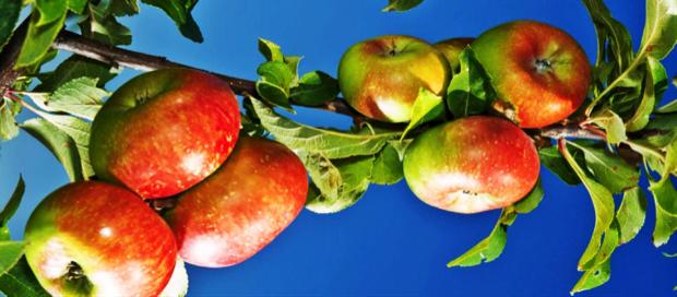 presidi slow food 8 - mela rosa monti sibillini 1