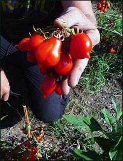 slow food 10 - pomodorino del piennolo del vesuvio 1