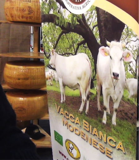 slow food 18 - vacca bianca modenese 1