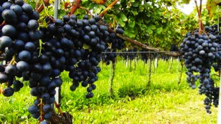 Cascina Ronchetto vini varesini 4