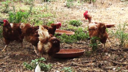 galline felici - economia solidale 1