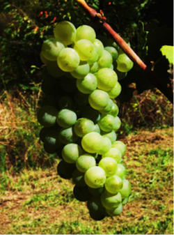 cimbrus brut vino 3