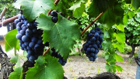 murgo da Etna vino Nerello Mascalese 3