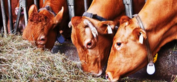 sapori della rossa vacche autoctone 4