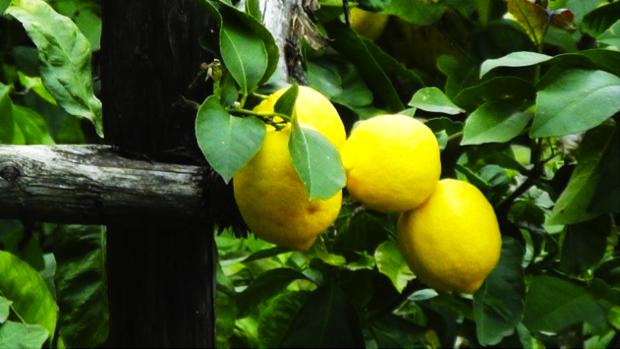limonaia pra de la fam agrumi sul garda 5