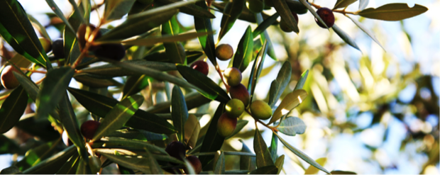 la cornula olio d oliva della puglia 2