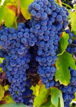 vino fragolino clinton noax baco 1
