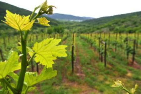 vini parovel carso triestino 4