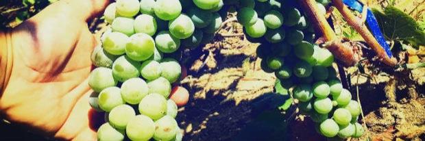 uva abruzzese montonico vino 002