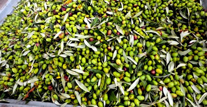 La Ravece: cultivar di olive della zona di Avellino per un olio secolare