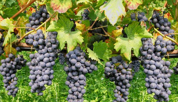 Il Groppello, il vino della Valténesi