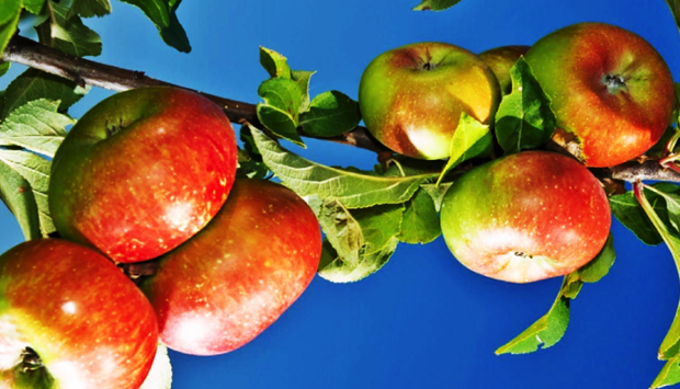 Mela Rosa dei Monti Sibillini, Presidio Slow Food delle Marche