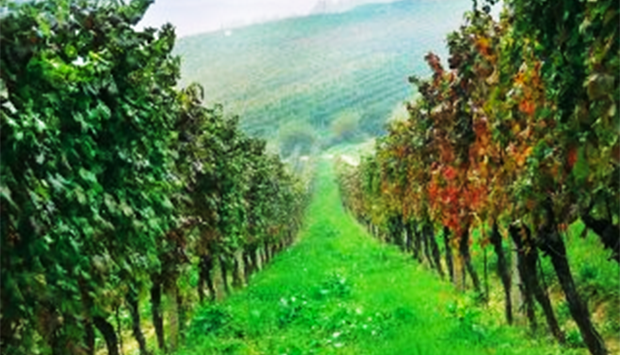 Le Note D'autunno dell'Albarossa, vitigno figlio di Nebbiolo e Barbera