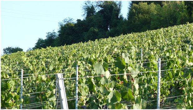 Foglia Tonda, da antico vitigno toscano un vino Dalle Nostre Mani