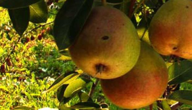 La fermentazione spontanea nella creazione dei distillati di frutta
