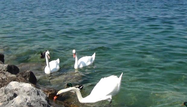Sirmione (BS), pennuti sul lago in lotta per il cibo scatenata dai turisti