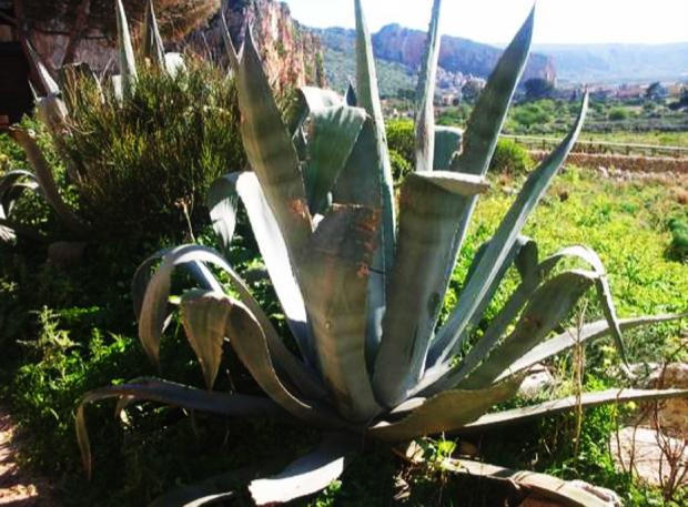 La Palma Nana, materia prima dell'artigianato trapanese