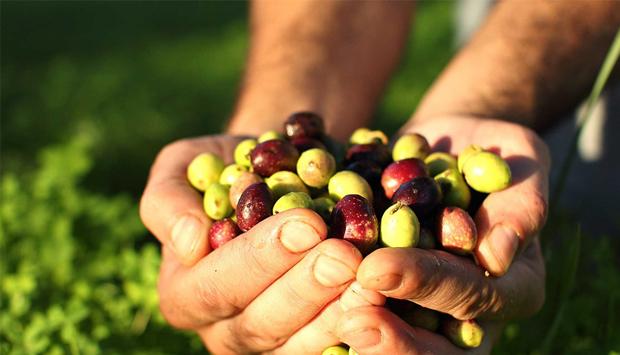 Gli oli da cultivar autoctone della Sardegna dell'Accademia Olearia