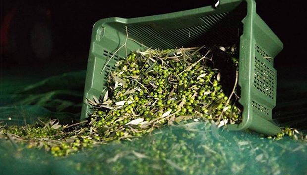Il recupero di oliveti abbondonati nella Tuscia, oro oleario dell'Etruria