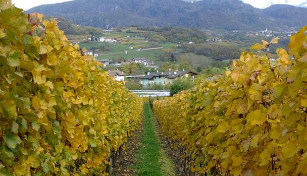 Angelica, cantina trentina che ricerca uve dimenticate per grandi vini